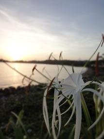 Jamaïque fleur